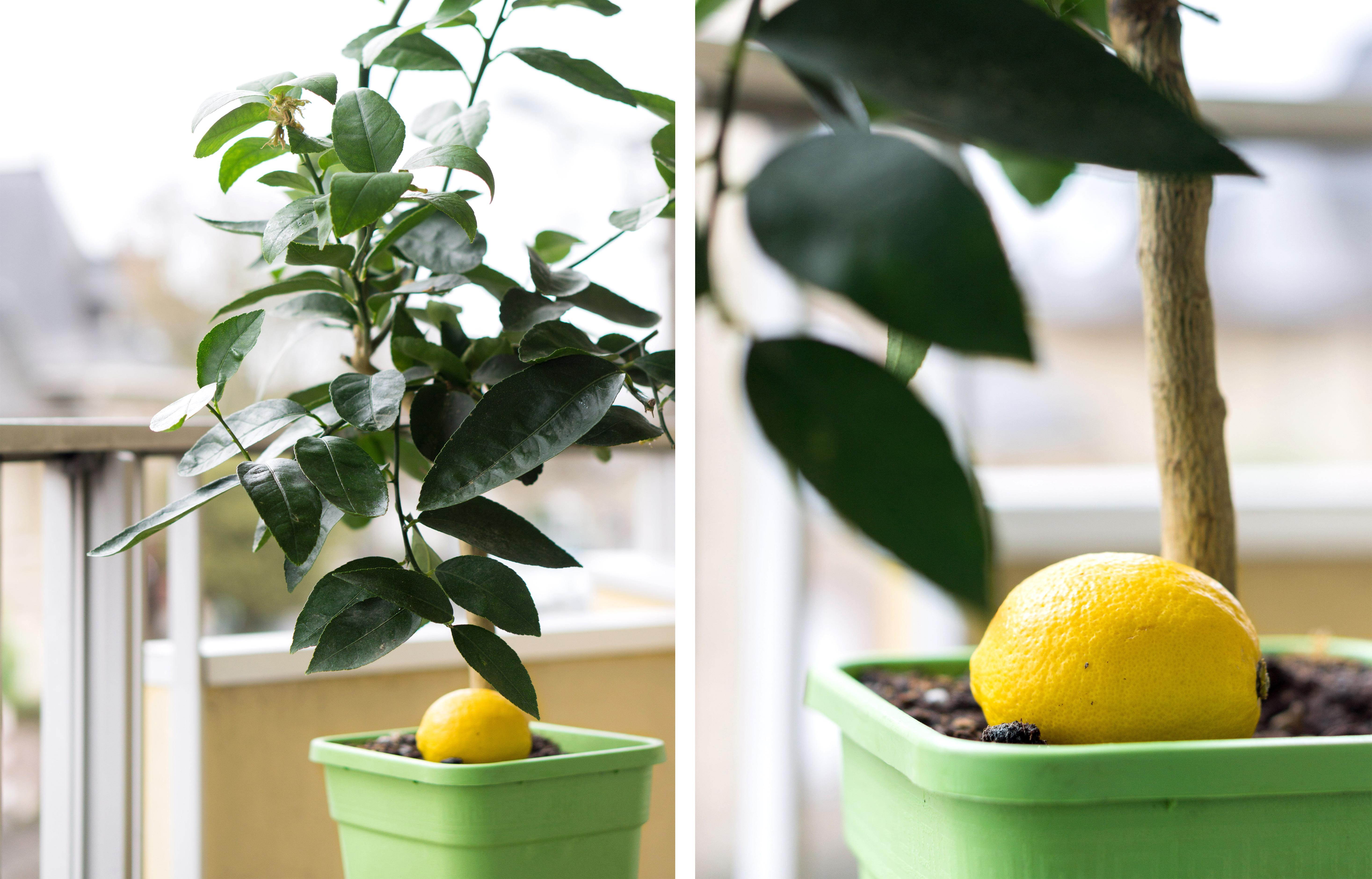 4-1-citronnier-citron-jardinage-appartement-résolutions-janvier2018-conseils-article-blog-oberthur-lifestyle-papeterie-rennes